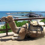 Camel rides available