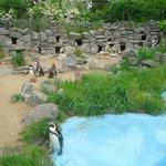 Zoo de Cologne - Manchots de Humbolt