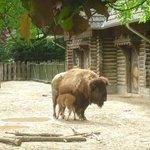 Zoo de Cologne - Bison d'Amérique