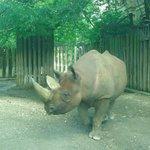 Zoo de Cologne - Rhinocéros