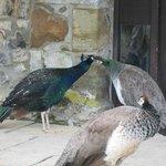 meet the friendly peacocks !