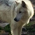 One of the white wolves.