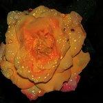 Rose in full bloom at Adisham Monastery