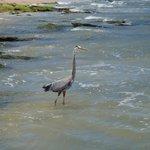 Great Blue Heron fishing on the rocky beach.