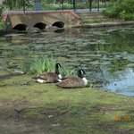 Ducks near the Pond