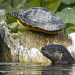 Otter and River Cooter Turtle