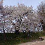 最上兼頼手植えの霞城の桜
