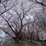桜並木がぐるっと一周します