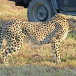 Cheetah watching Impala off in the distance. Amazingly fast.