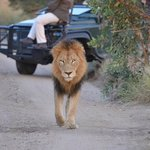 First morning, one of two male lions at sunrise. Best moment of the trip.