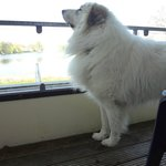 Dog on the room balcony
