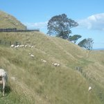 One Tree Hill with sheeps