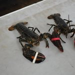 Our fresh lobsters