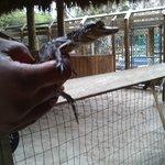 На крокодильем шоу