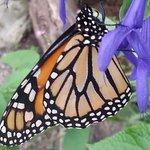 Magical Monarch at Brookgreen
