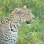 this was the leopard that we saw on our unexpected noon drive
