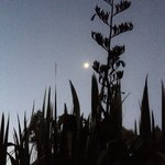 Moon peering through a crown of flax