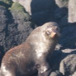 Fur Seal basking on the rocks