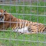 Bengali a bengal tiger