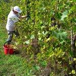 Harvesting in Chianti