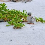Baby Tern on Beach