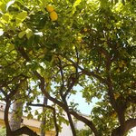 A lemon tree laden with fruit