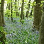 Bluebells in the grounds