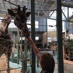 Feeding giraffes - extra fee to do this!
