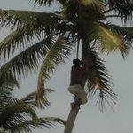 Belezian climbing Coconut Palm across the street