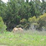 Wild horse on Carrot Island