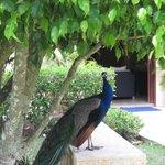 Peacock at the spa