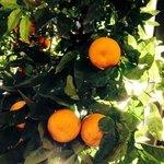 Les oranges du jardin
