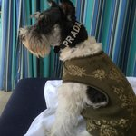 Prada My Miniature Schnauzer In the Cabana People watching by the pool