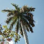 Palmier royal avec nid d'oiseau
