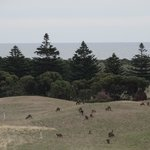 kangaroos on golf course
