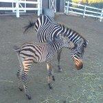 more zebras....