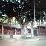 清朝總兵署, 這棵樹已超過200歲. 金門,台灣.