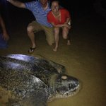 Endangered Leatherback Turtle laying her eggs