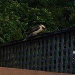 Gorgeous kookaburra