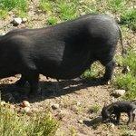 Le bébé cochon et sa maman