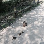 Mother duck and her babies