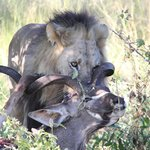Fortunately guests are not treated like this kudu...