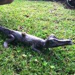 Crocodile!!!