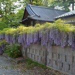 寺務所の藤棚