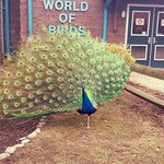 the peacocks love to show off