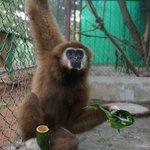 Chutney the gibbon