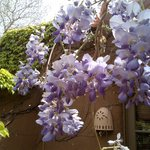 Spring wisteria outside rooms