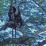 One of the Colobus surrounding the grounds