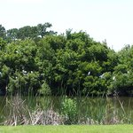 Great Egret Colony btwn 2nd and 3rd holes