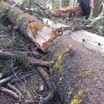 Fallen tree making the trail nearly impassable.